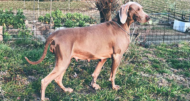 ワイマラナー母犬