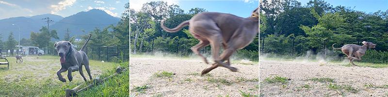 走るワイマ