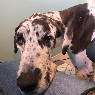 Image result for 犬 Great Dane うなる